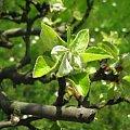 Pączkująca jabłoń #jabłoń #PączkującajAbłoń #wiosna