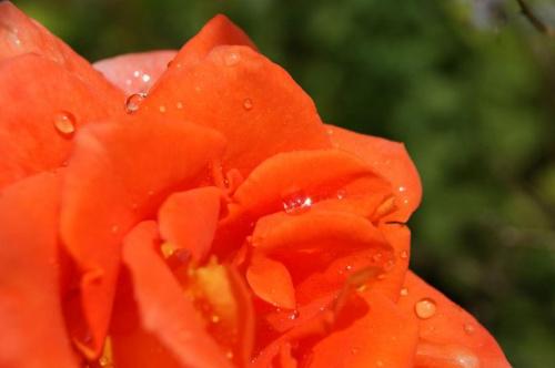 #Kropla #Róża #kwiat